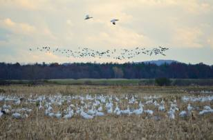 dead-creek-snow-geese
