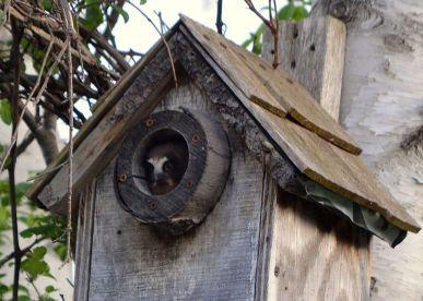 west-rutland-marsh-saw-whet-owl