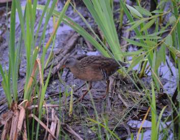 west-rutland-marsh-virginia-rail